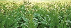 Tabakanbau am Oberrhein heute